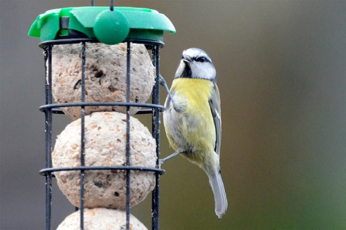 blue tit on fat balls