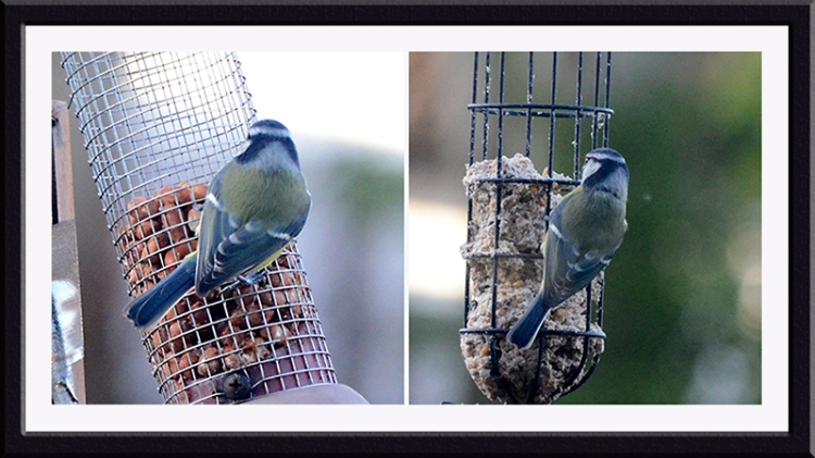 blue tit on nuts and balls