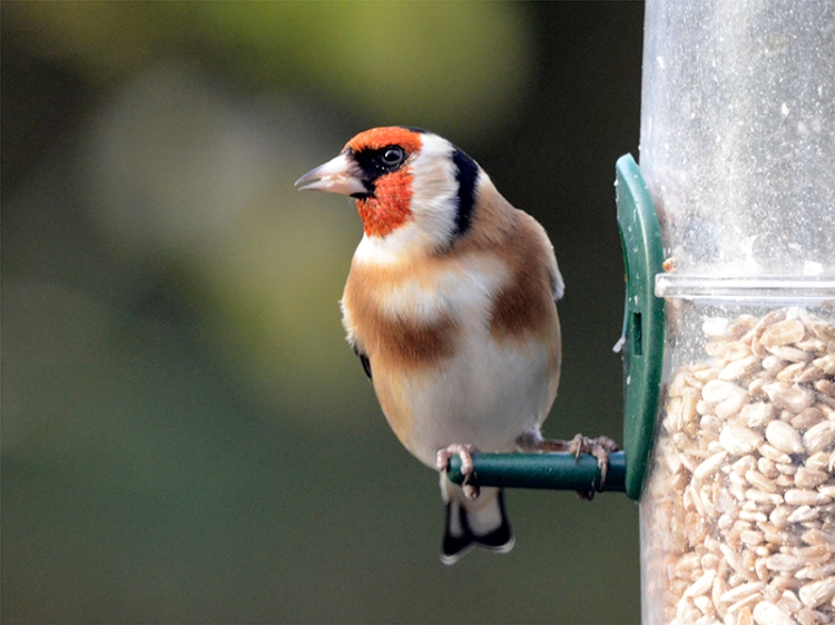 bright goldfinch