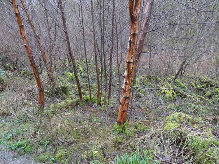 brown silver birches