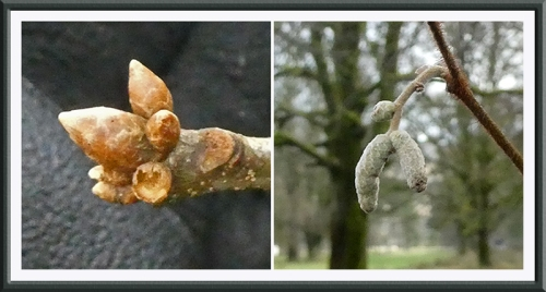 bud and catkin december