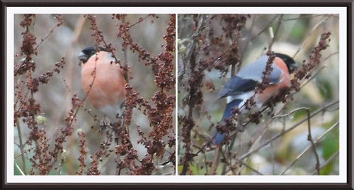 bullfinch eating seeds