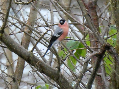 bullfinch in tree