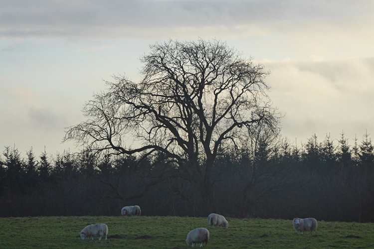 callister tree