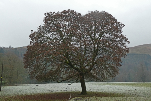 castleholm leafy tree