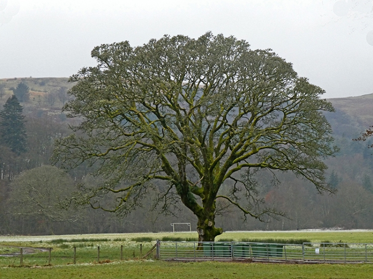 castleholm mossy tree