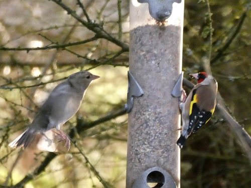 chaffinch and goldfinch laverock hide