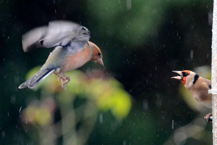 chaffinch attacking goldfinch