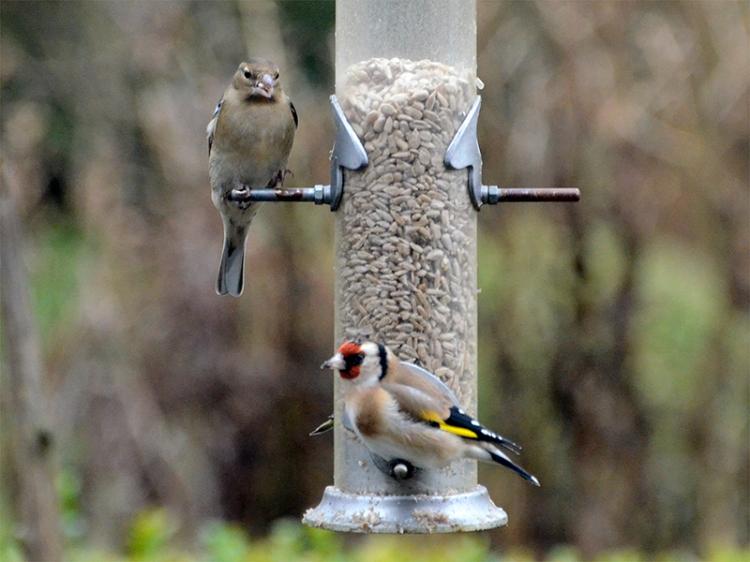 chaffinch goldfinch