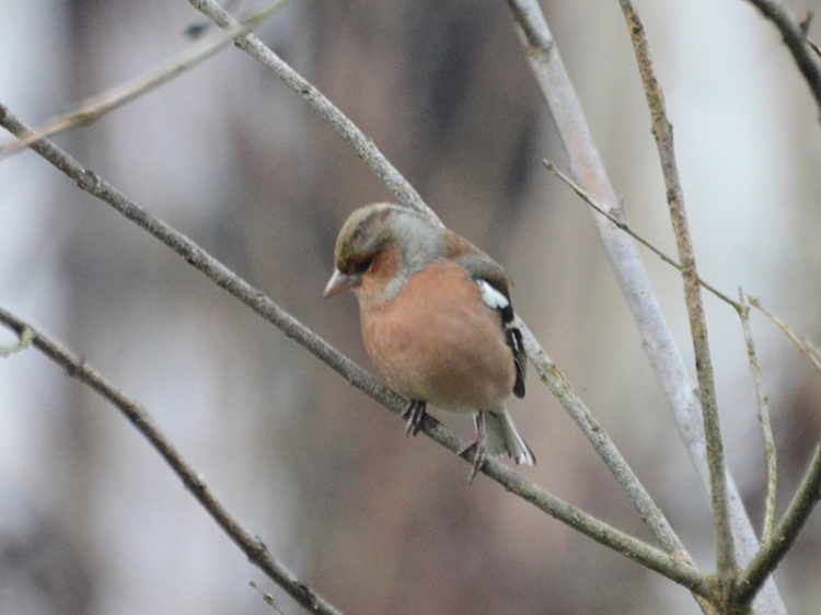 chaffinch looking down