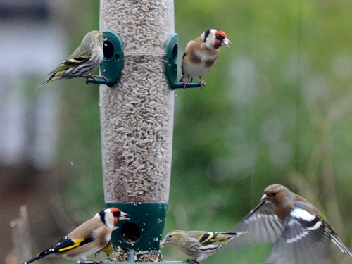 chaffinch visiting goldfinches and siskins