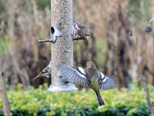 chaffinches incoming