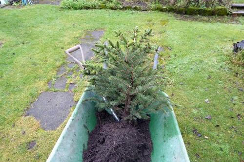 Christams tree dug up