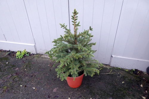 christmas tree in pot