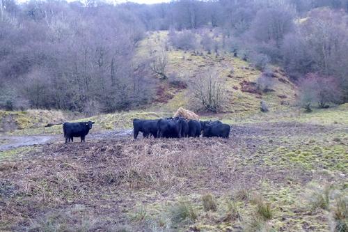 cows having food