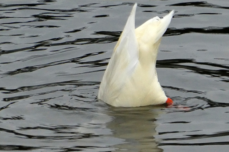 diving white duck
