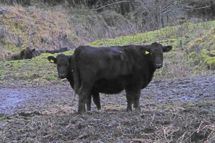 double headed cow