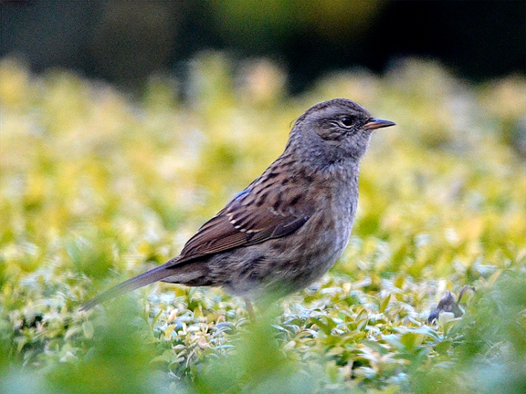 dunnock on hedge