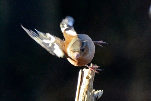 flying chaffinch lunge