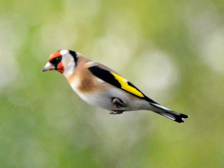 flying goldfinch no arms