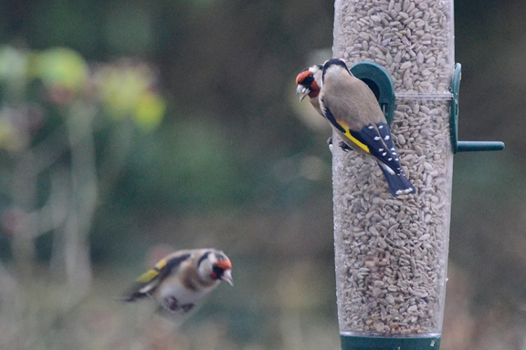 flying goldfinch observed