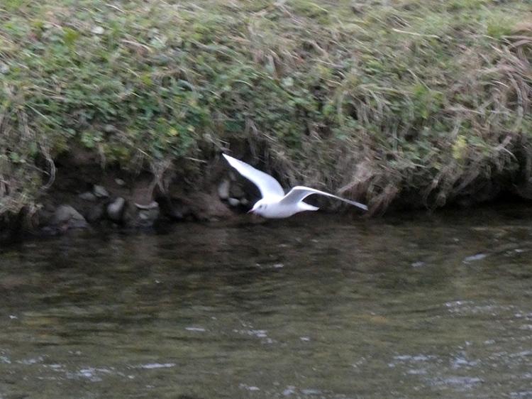 flying gull`