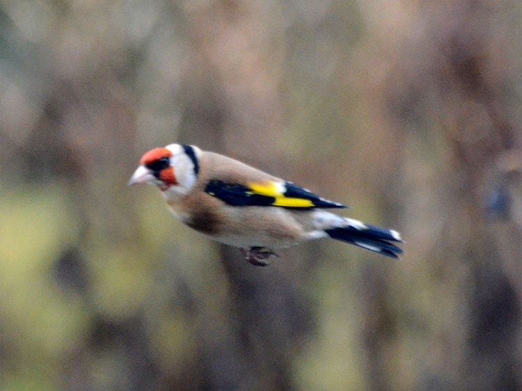 flying oldfinch