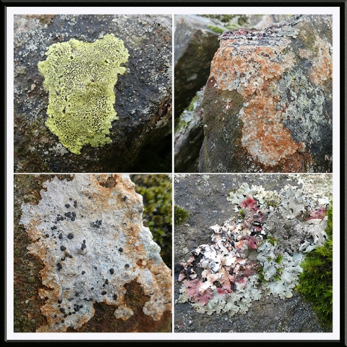 four lichens on same wall