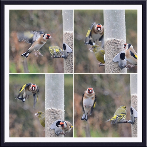 four lurking goldfinches