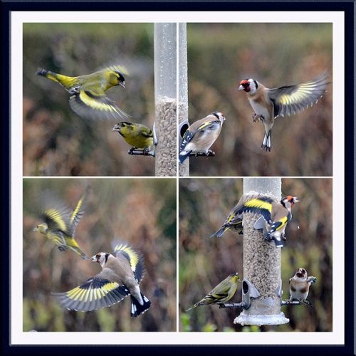 four siskin and goldfinches in action
