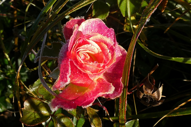 frozzen rose