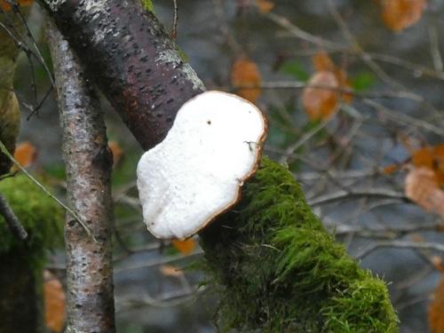 fungus duchess bridge