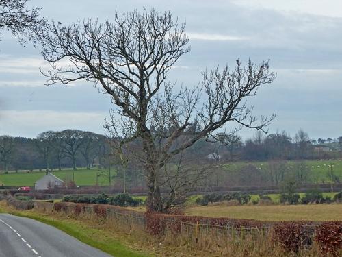 gaunt tree