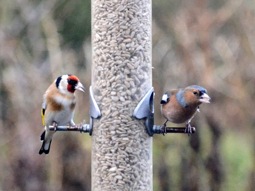 goldfinch and chaffinch determined