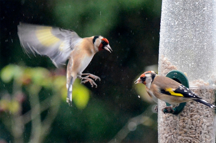 goldfinch attacking goldfinch