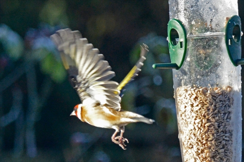 goldfinch departing