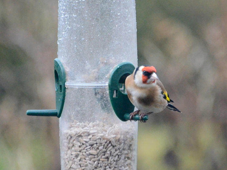 goldfinch lloking for seed