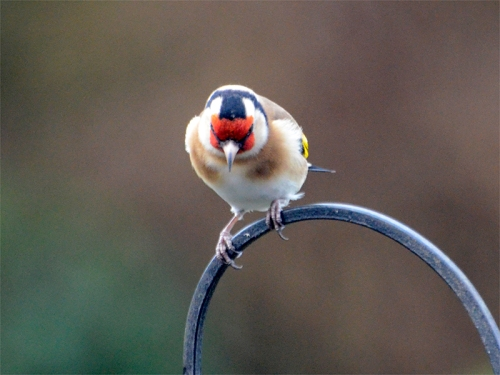 goldfinch looking down