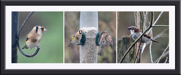 goldfinch sparrow oanel