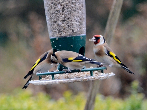 goldfinches on a windy day 1