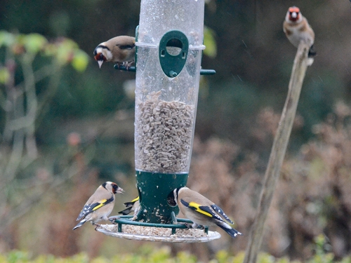 goldfinches on a windy day 2