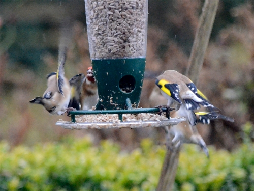 goldfinches on a windy day 3