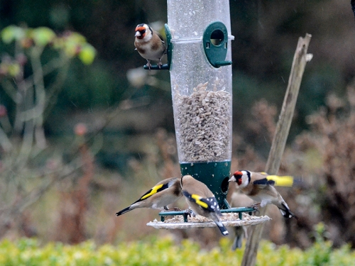 goldfinches on a windy day 4
