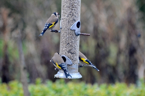 goldfinches on old feeder
