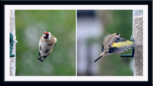 goldfinches wings