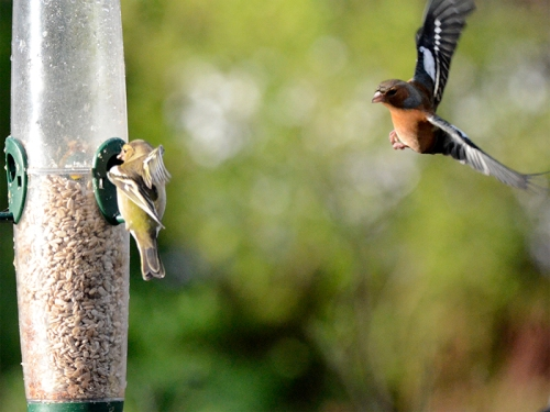 greenfinch and chaffinch wings