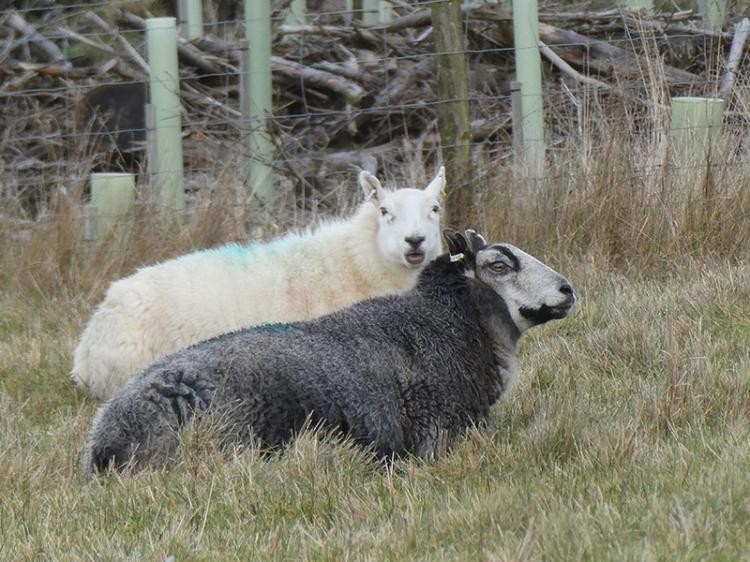 grey and white sheep