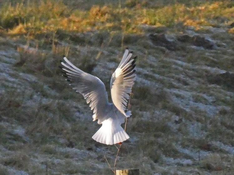 gull landing on post