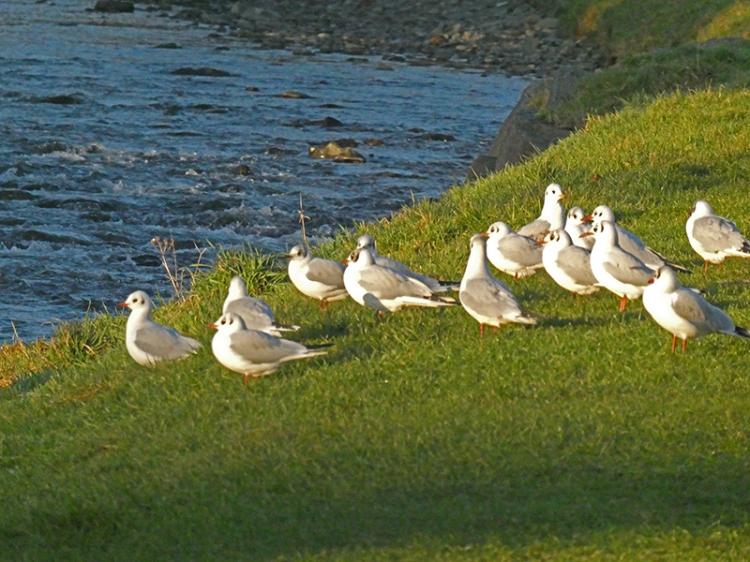 gulls on grass