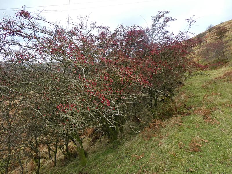 hawthorns on Whita